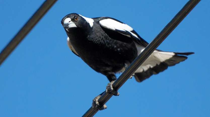 Police say they were asked by the National Parks and Wildlife Service to euthenase a magpie in East Lismore.