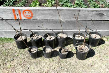 Ten of the 50 fig trees which are for sale at the Whistlestop Heritage & Community Garden.