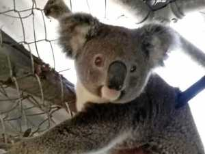 'Disgusting, heartless' koala hit and run