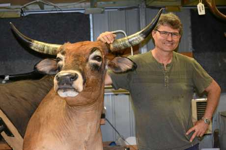 Owner of the Down Under Taxidermy and Hunting Markus Michalowitz with the scrub bull from North Queensland.