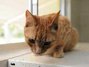 Banana Shire Council launches cat desexing program