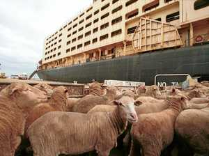 Heat stress in the live sheep trade