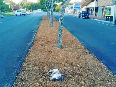 A dead koala was found in the main street of Byron Bay.