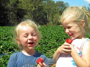 Grown here, with love: Why Gympie strawberries are safe