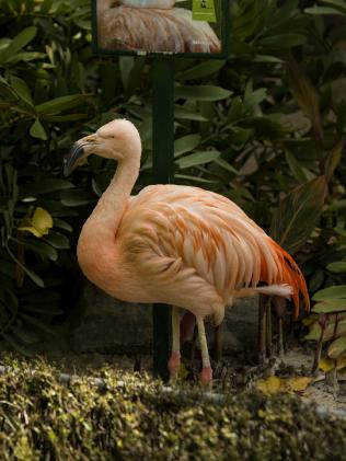 Chile the Chilean Flamingo. Picture: Adrian Mann/Zoos SA