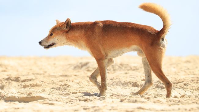 A Fraser Island Dingo on Seventy Five Mile Beach. Picture: Lachie Millard
