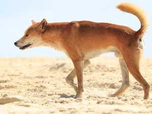 Group says no more dingoes should be destroyed on Fraser