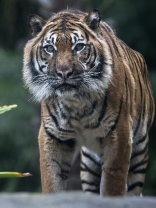 Sumatran Tiger, Tuan. Picture: Adrian Mann, Zoos SA