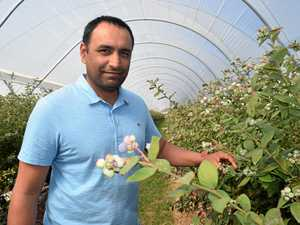 Is there too much red tape for our blueberry industry?