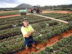 Crops burnt off in strawberry hell