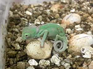 Cuteness overload as chameleons hatch at reptile park