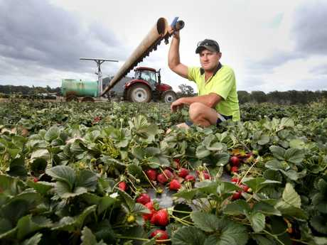 Farmhand Cameron Stevens has poisoned the Glass House Mountains strawberry fields as the market plummets. Picture: Steve Pohlner