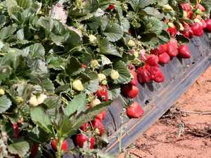 New sabotaged strawberries discovered