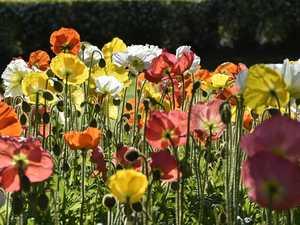 Mass seedlings theft risks Laurel Bank's floral display