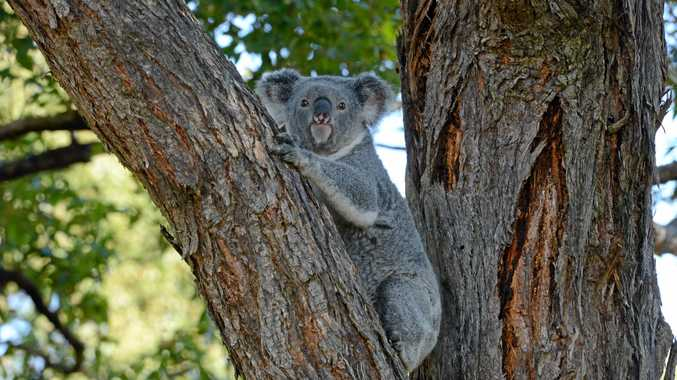Koala spotters needed as populations dwindle