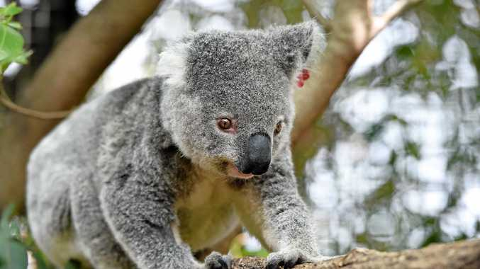 Tweed MP Geoff Provest says long-standing koala issues on the Kings Forest site mean the site is not
