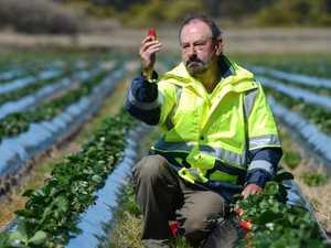 Fruit sabotage crisis worsens