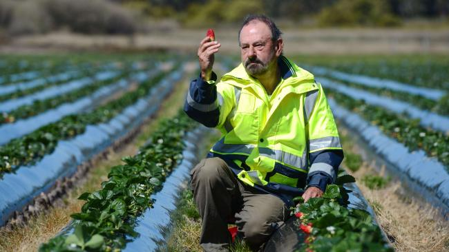 Mt Compass strawberry farmer Brenton Sherry says his company will fail if consumers turn away from eating strawberries. Picture: AAP