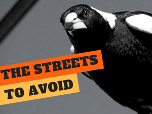 SWOOPING SEASON: Valley's magpie hot-spots