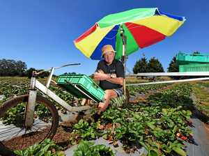 Fruit sabotage crisis has silver lining for Gympie farmers
