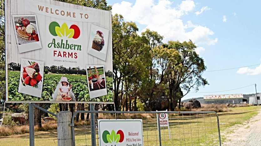SWEET DEAL: Ashbern Farms in Stanthorpe is one of several strawberry growers on the Granite Belt, which contributes to the 6000 to 15,000 tonnes of fruit produced each season in Queensland.