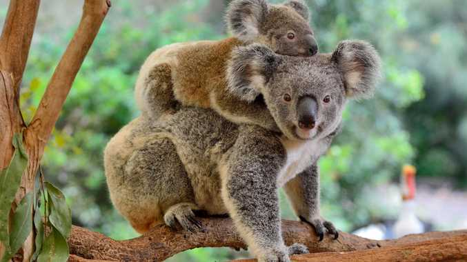A 20-year plan out to enhance Noosa and save the koalas