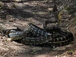 SNAKES ALIVE: Pythons spotted on walking track near Warwick