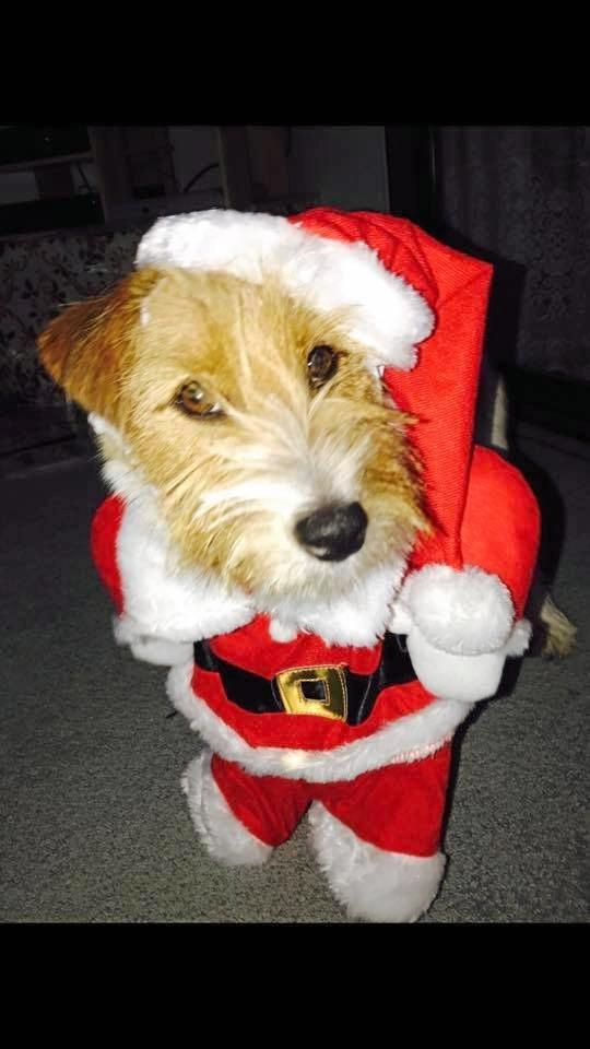 Christmas dog Wilbur.