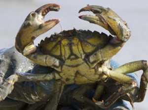 Angry mutant crabs wreaking havoc