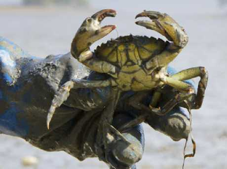 'We will fight you on the beaches': Best to wear gloves when handling these crabby crustaceans. Picture: AP