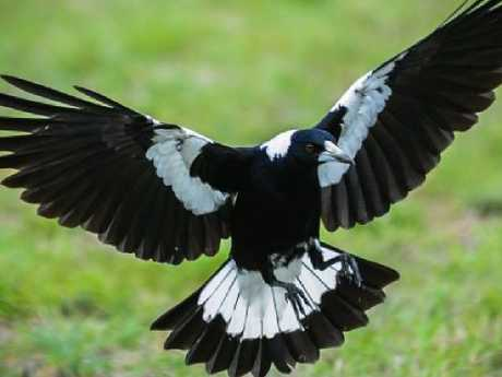 Magpie for Don Knowler's On the Wing col for TasWe