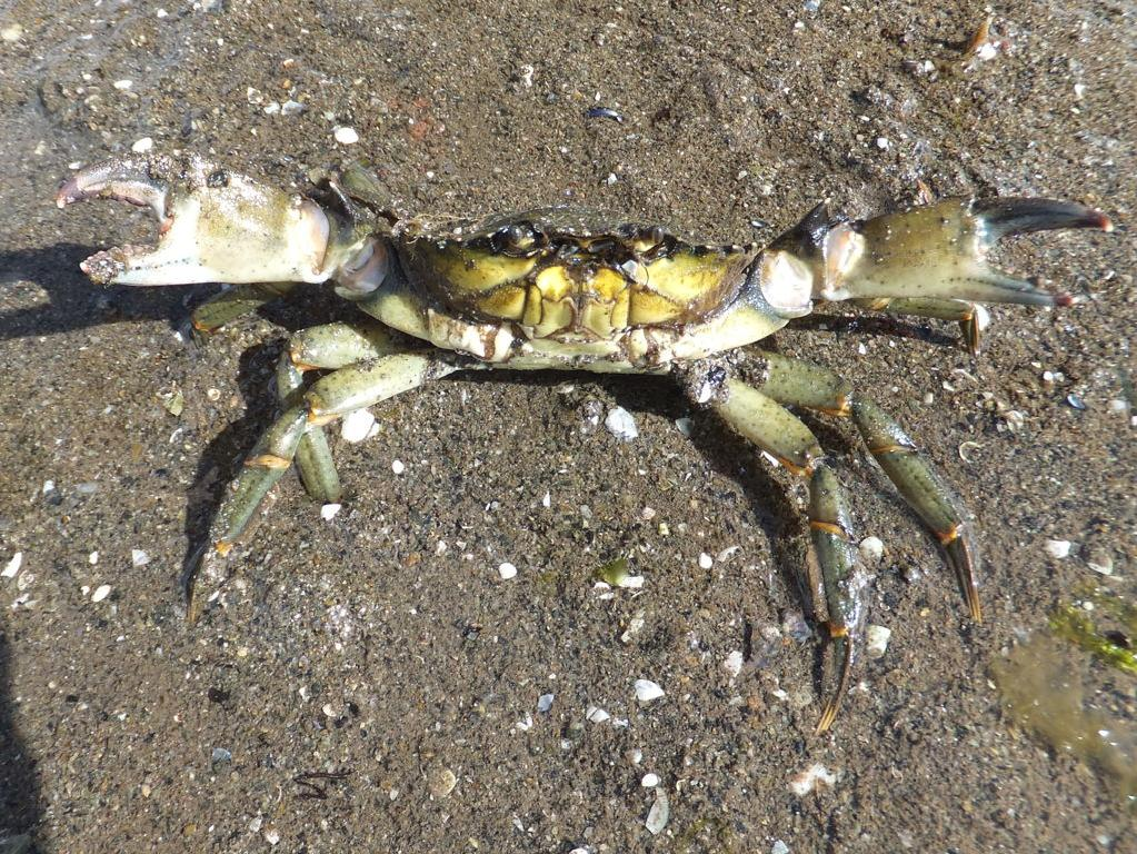 'Bite me': Angry Canadian green crabs are destroying the fragile ecosystem with their aggressive ways. Picture: Supplied