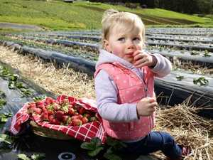 Strawberry popularity soars amid needle fears