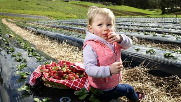 Lily Dalitz enjoys some strawberries at her family's Uraidla property. Picture: Bianca De Marchi