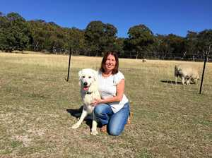Two guardian dogs credited for protecting livestock