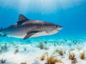 Two tiger sharks destroyed where tourists were attacked