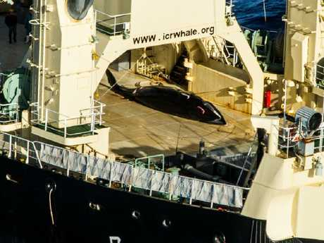 After being spotted with a whale on board the Nishhin, Japanese 'researchers' covered it in a blue tarp to not be filmed. Picture: Sea Shepherd