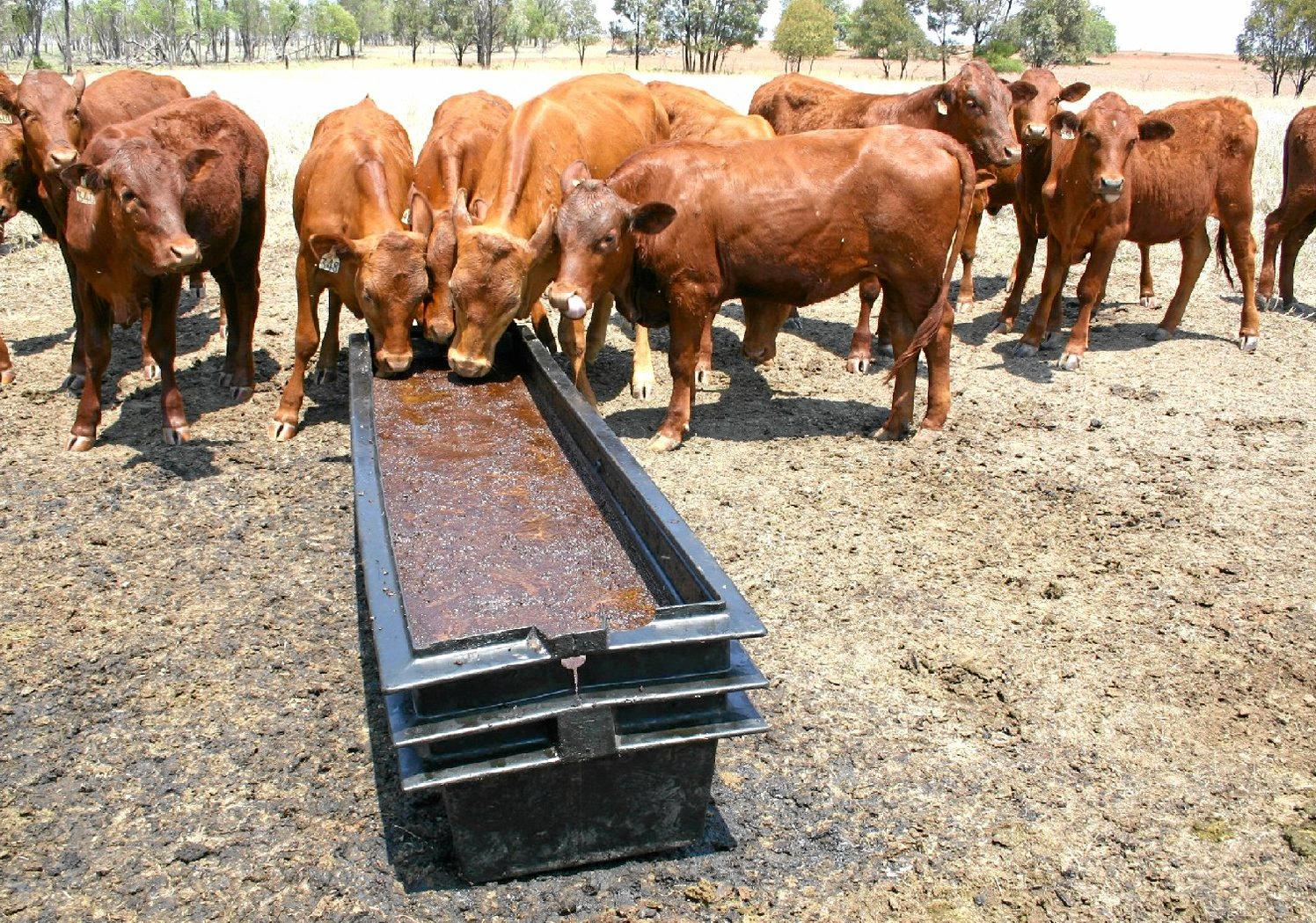 Central Queensland heifers being supplemented with a fortified mix of molasses and cottonseed meal fed in an open trough to fill the protein and energy gap in extremely dry and nutritionally stressed post-winter pastures.