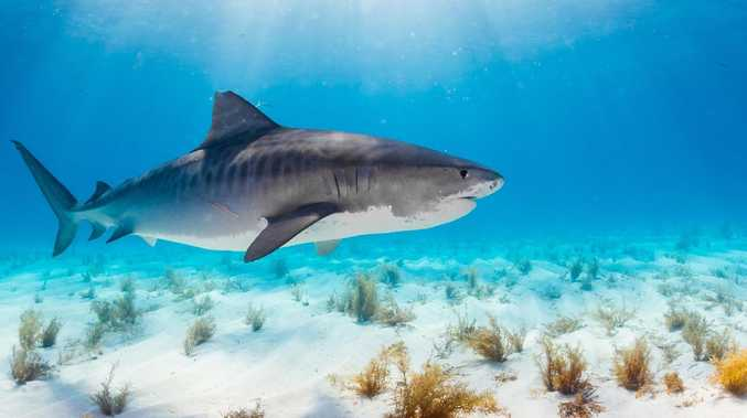 A tiger shark similar to the animals caught and killed in the Whitsundays.