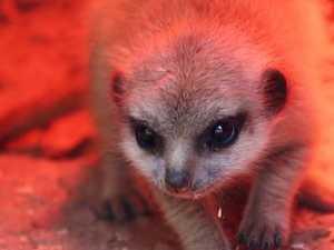 Missing meerkat found by police