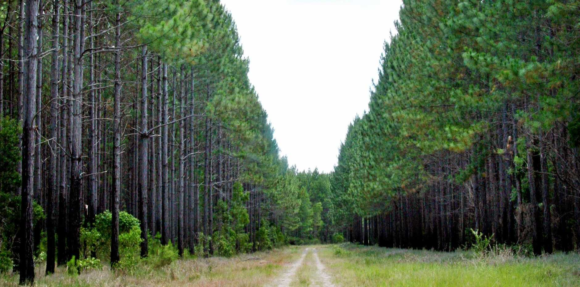 Dirt road lined with pine trees in Byfield. Photo: Tamara MacKenzie / The Morning Bulletin