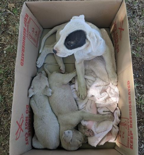 The three puppies found in a box in Oakey.