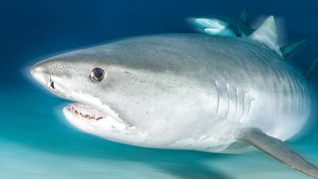 Four Tiger Sharks have now been pulled from Cid Harbour.