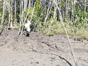 Dead chicken bait planted to lure and trap Mackay croc