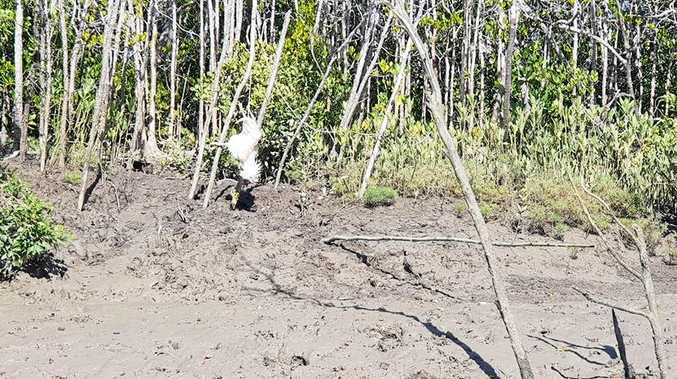 'Chicken bait set for croc' upsets fisherman