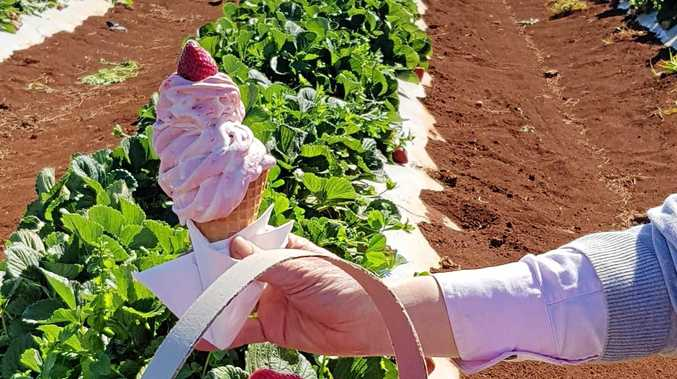 STRAWBERRY FIELDS FOREVER: Locals haven't been deterred by the strawberry crisis with people still buying them come rain, hail or shine.