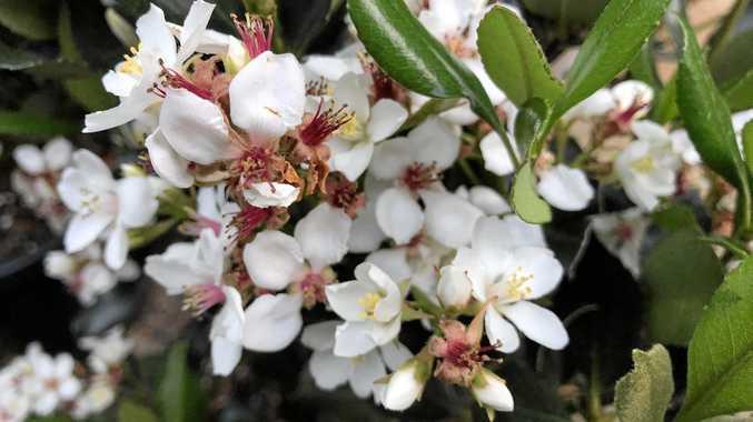Rhapiolepis intermedia makes a showy screening plant.