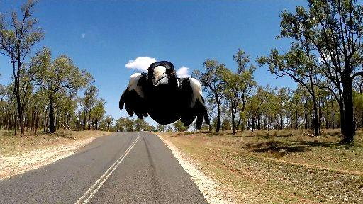 Spring is the time of year when Magpies start to swoop cyclists, pedestrians and runners.