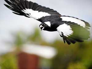 REVEALED: Rocky's brutal magpie attack hot spots