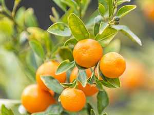 Last segments of the mandarin season